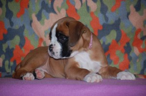 puppies-7-weeks28