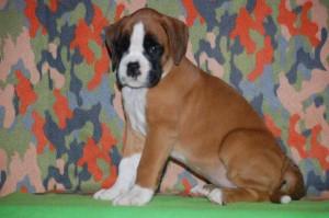 puppies-7-weeks30