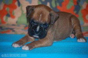 JSBoxer-5-weeks-old02
