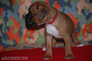 JSBoxer-5-weeks-old03