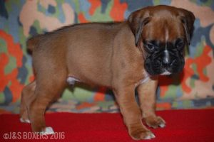 JSBoxer-5-weeks-old04