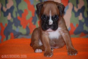 JSBoxer-5-weeks-old06