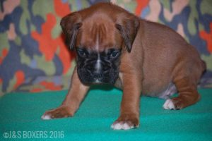 JSBoxer-5-weeks-old08