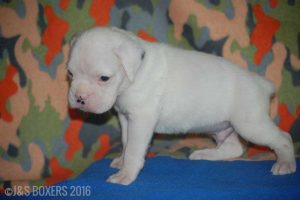 JSBoxer-5-weeks-old09