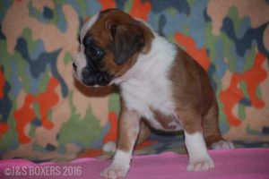 JSBoxer-5-weeks-old12