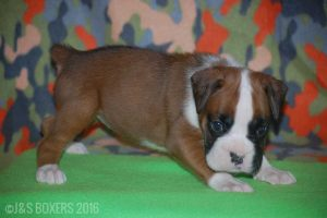 JSBoxer-5-weeks-old13