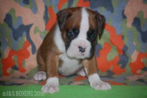 JSBoxer-5-weeks-old14
