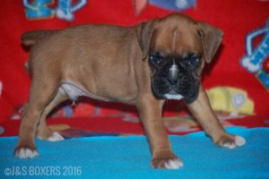 JSBoxer-6-weeks-old05