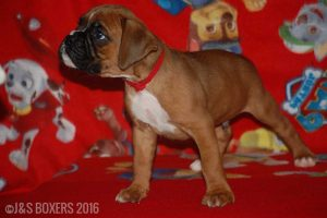 JSBoxer-6-weeks-old07
