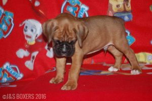 JSBoxer-6-weeks-old08