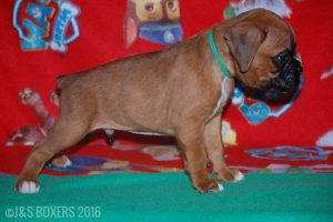 JSBoxer-6-weeks-old11