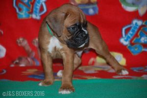 JSBoxer-6-weeks-old12