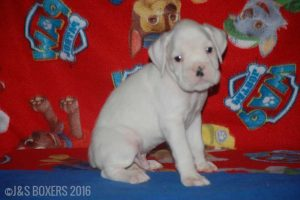 JSBoxer-6-weeks-old14