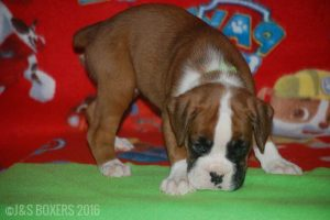 JSBoxer-6-weeks-old17
