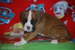 JSBoxer-6-weeks-old18