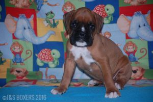 JSBoxer-7-weeks-old01