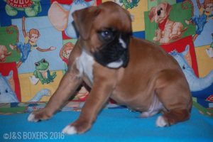 JSBoxer-7-weeks-old02