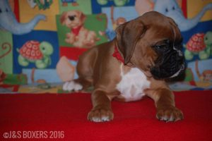JSBoxer-7-weeks-old03