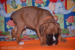JSBoxer-7-weeks-old05