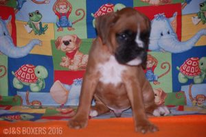 JSBoxer-7-weeks-old06