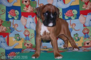 JSBoxer-7-weeks-old08