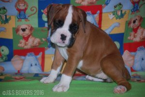 JSBoxer-7-weeks-old13