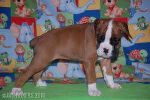 JSBoxer-7-weeks-old14