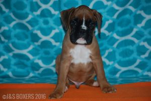 JSBoxer-8-weeks-old06