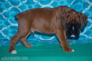 JSBoxer-8-weeks-old07