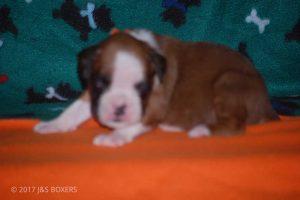 3-week-oldpuppies12