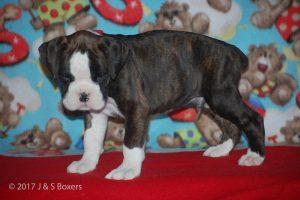 boxer-puppies13