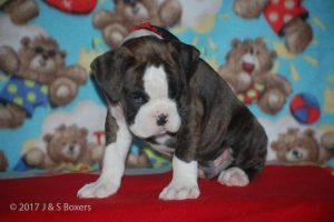 boxer-puppies14