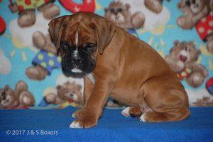 boxer-puppies15