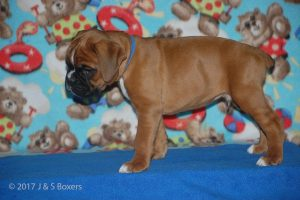 boxer-puppies16