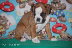 boxer-puppies17