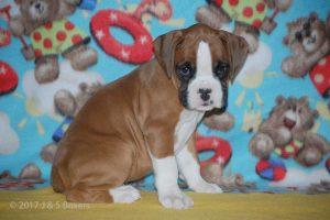 boxer-puppies19
