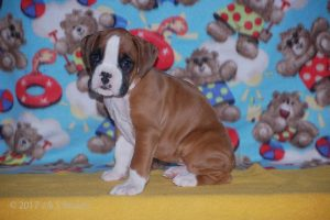 boxer-puppies20