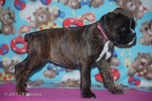 boxer-puppies22
