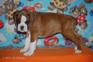boxer-puppies23