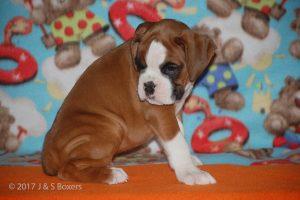 boxer-puppies24