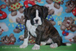 boxer-puppies25
