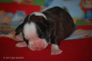 boxer-puppies26