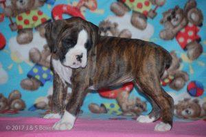 boxer-puppies27