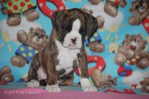 boxer-puppies28