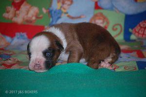 boxer-puppies30