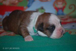 boxer-puppies31