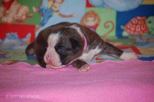 boxer-puppies32
