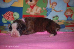 boxer-puppies33