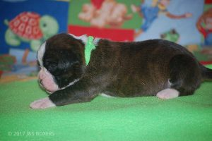 boxer-puppies34