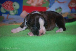 boxer-puppies35
